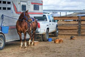 horse hauled on pick-up